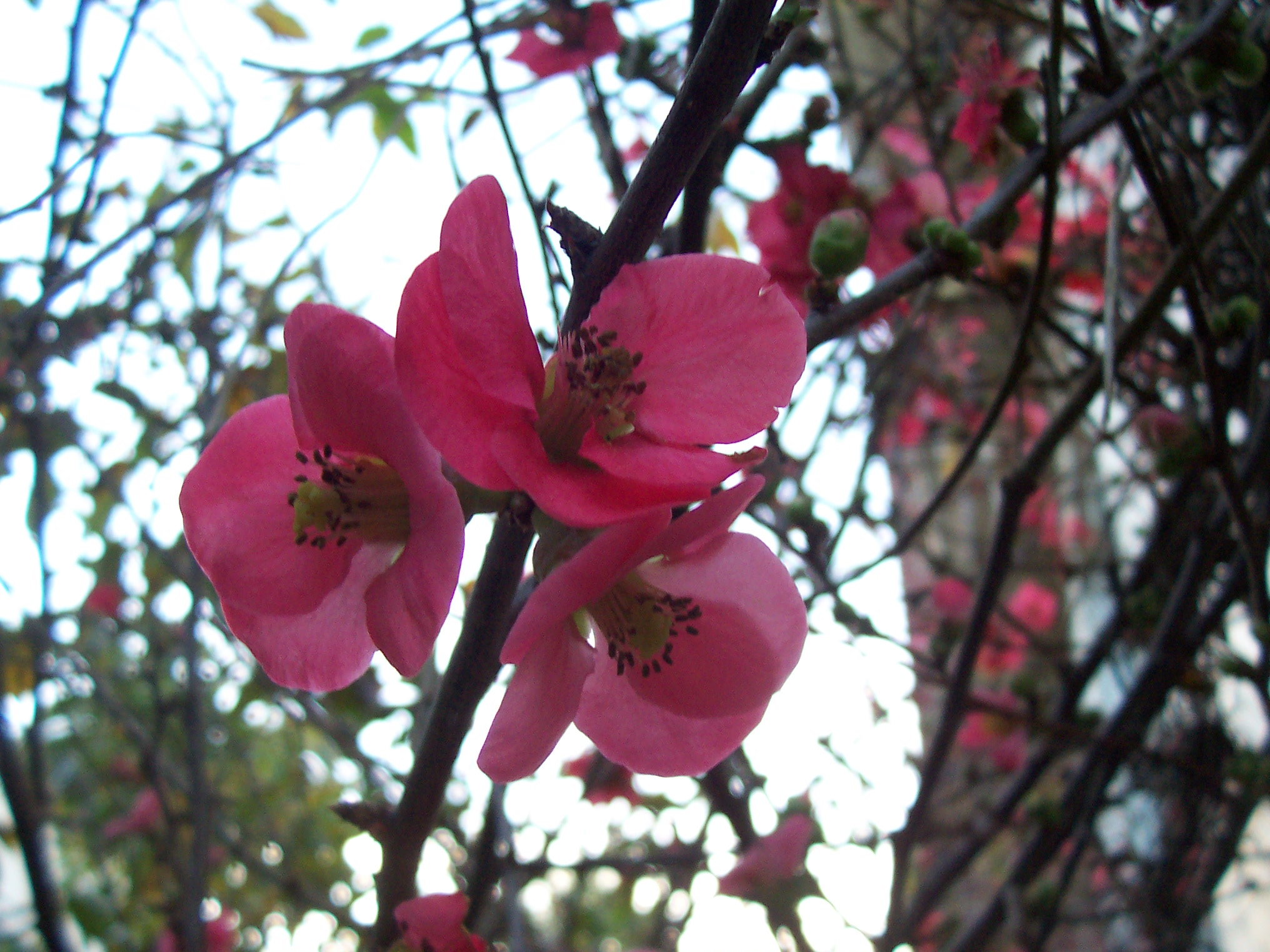 Fruit Tree Flowers Part - 38: Local Ecologist