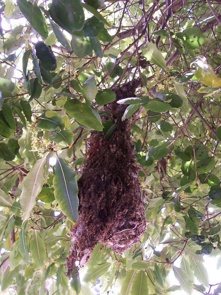 Bird Watch A Complex Elevated Pendulous Nest