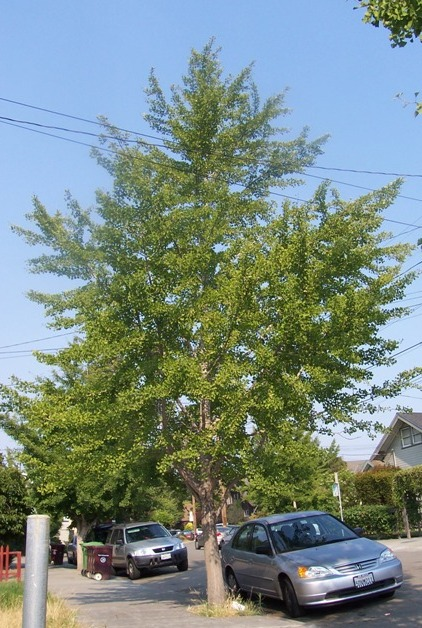Many cities no longer plant the female ginkgo. I think this is unfortunate.