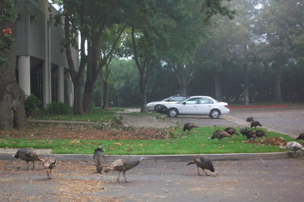 Wild turkeys in Sacramento