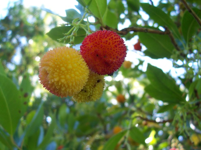 http://www.localecology.org/images/strawberry_tree_fruit.JPG