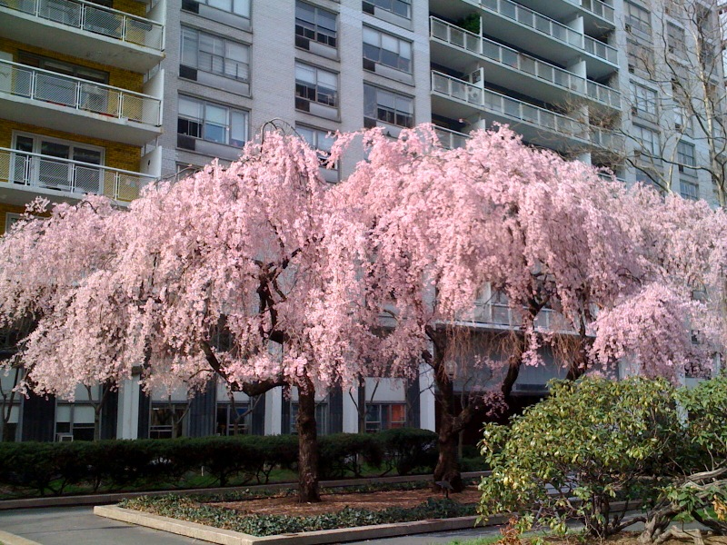 Flowering spring trees images flower decoration ideas local ecologist two favorite early spring flowering trees two favorite early spring flowering trees mightylinksfo mightylinksfo